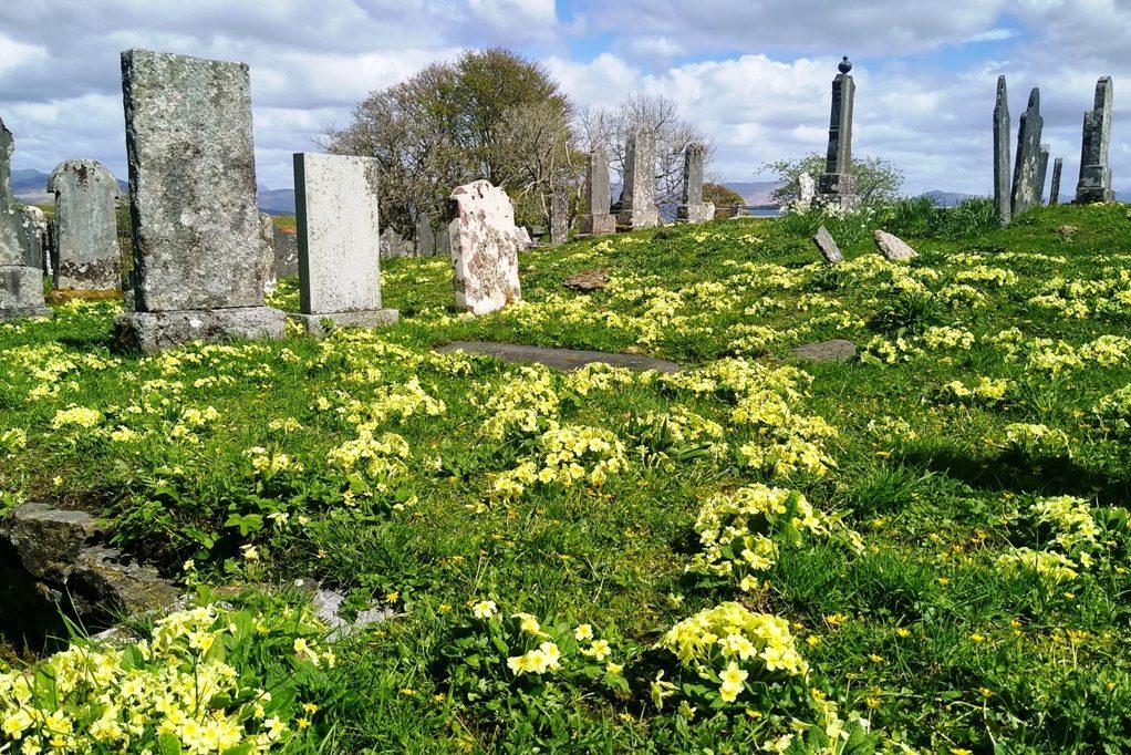 Primroses in the old graveyard