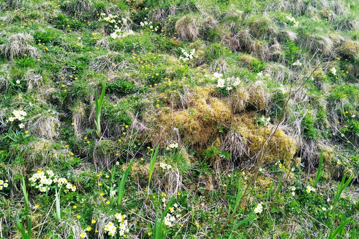 Primroses with flag irises coming